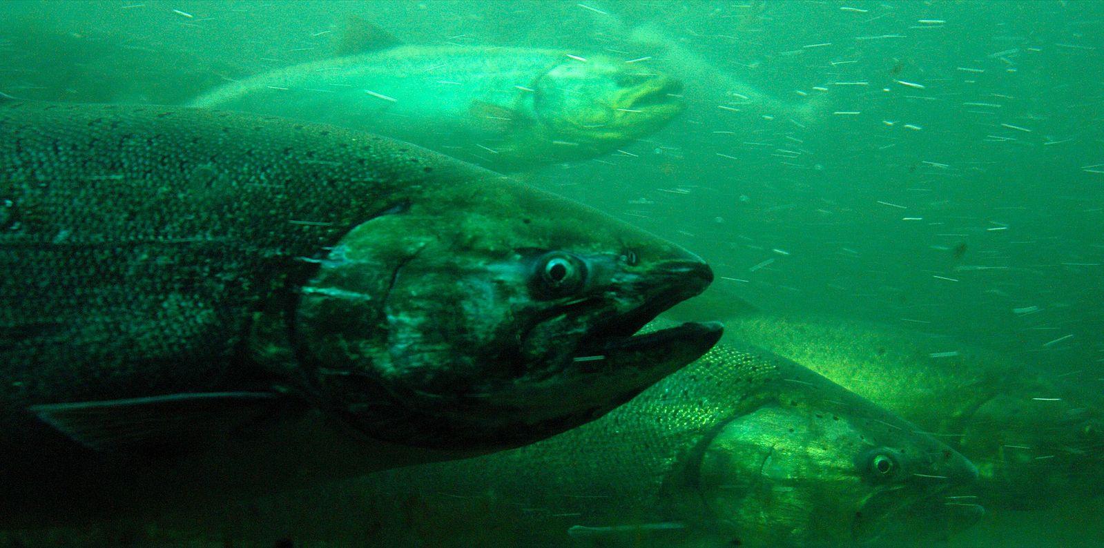 chinook_salmon1