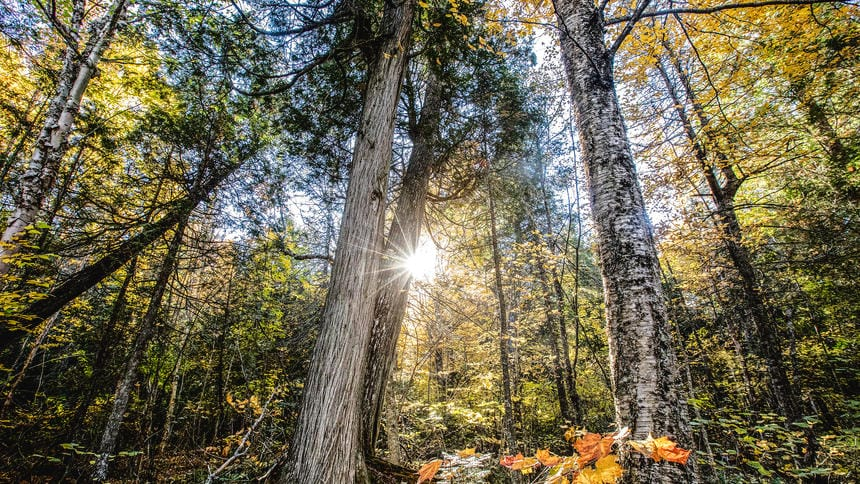 Explorer Will Steger encountered a virgin stand of old-growth maple, cedar and spruce trees in Lake County near Finland, Minn., in 1996 and eventually purchased the land to keep it undeveloped. He's now sold the land to the Nature Conservancy.